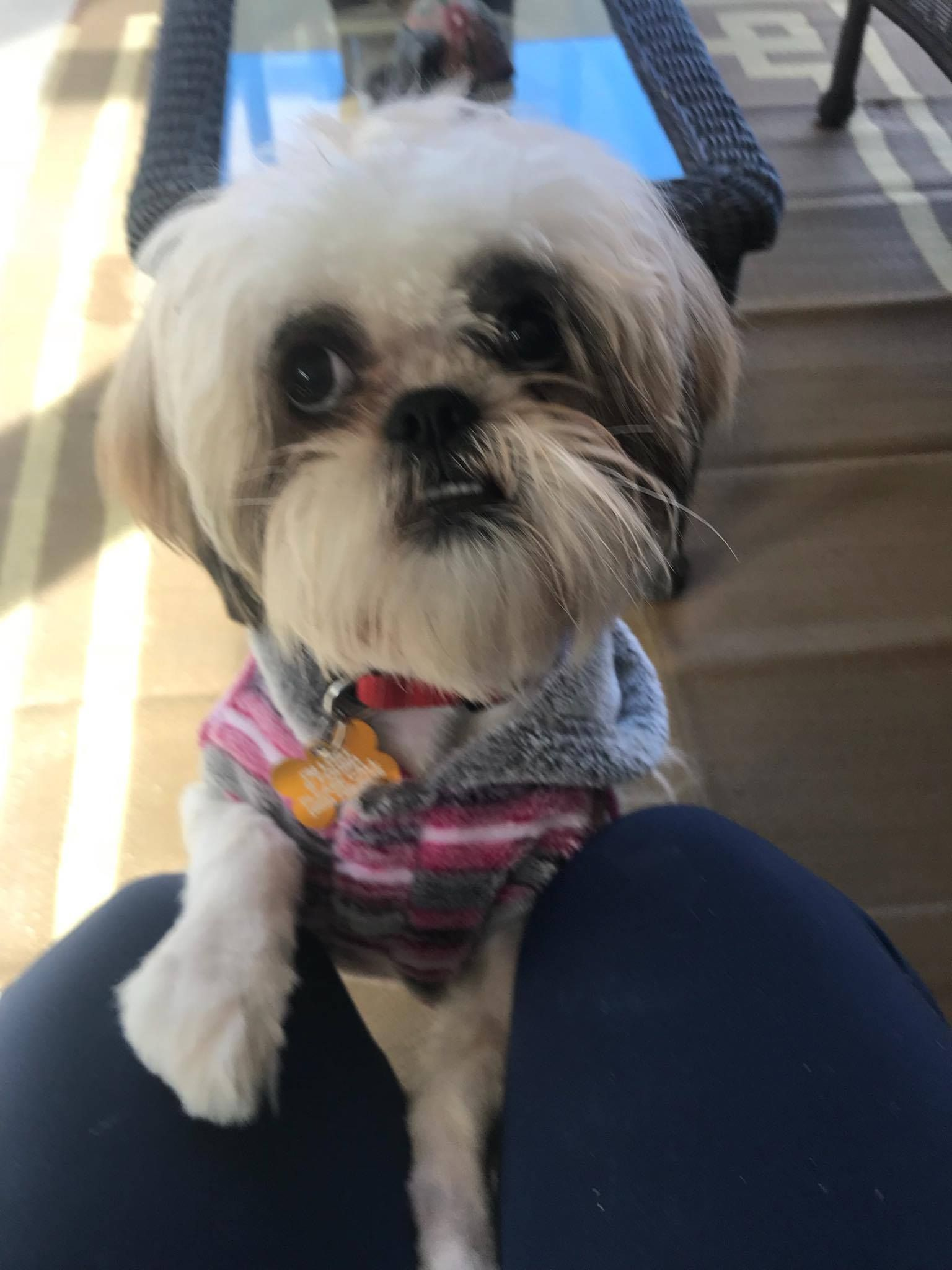 Shih Tzu Dog For Adoption In La Verne Ca Adn 751494 On