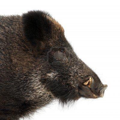 Wild Boar are so smart that they are  almost impossible to eradicate. They are so destructive that they destroy habitat and eat both creatures and vegetation ......rooting with their snouts.