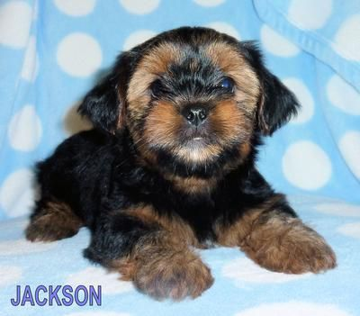 Brindle Colored Shorkie Shih Tzu And Yorkshire Terrier Yorkshire Terrier New Puppy Brindle