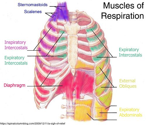 Skeletal Muscle Diagram Labeled Microphone Wiring 3 Pin Muscles Respiration Great Installation Of Back To Learning Physical Therapy Rh Pinterest Com Human Simple