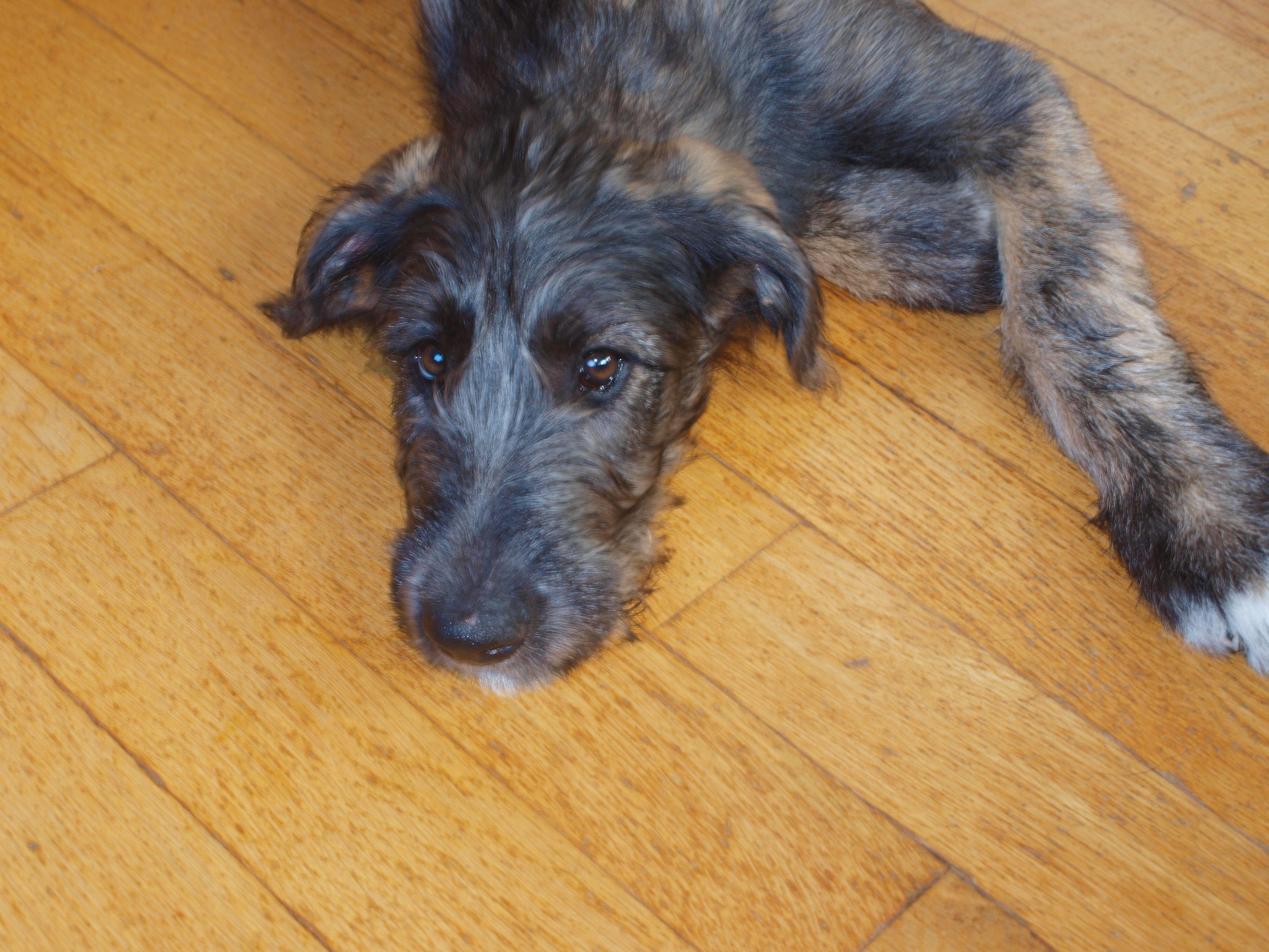 anticipating movement   Wolfhound, Irish wolfhound, Puppies