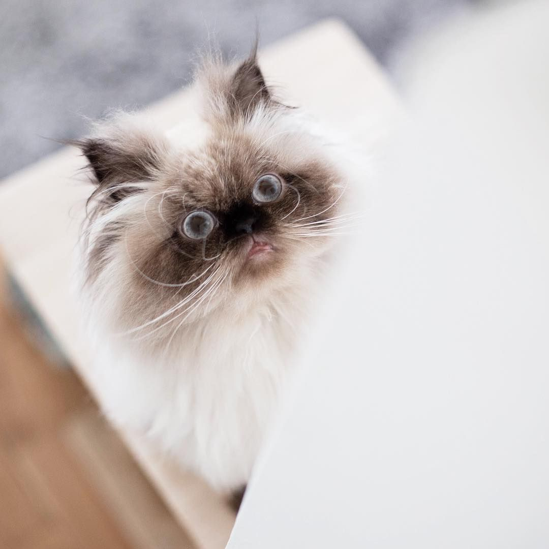 I 39 M Opening My Mouth I39m Mouth Opening Himalayan Cats And Kittens Cats Cute Animals