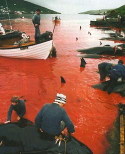 I believe this is whale killing on The Faroe Islands. This massacre on thise beautiful and intelligent mammals happens every year, so the water turns red of the blood....so sad to see!!