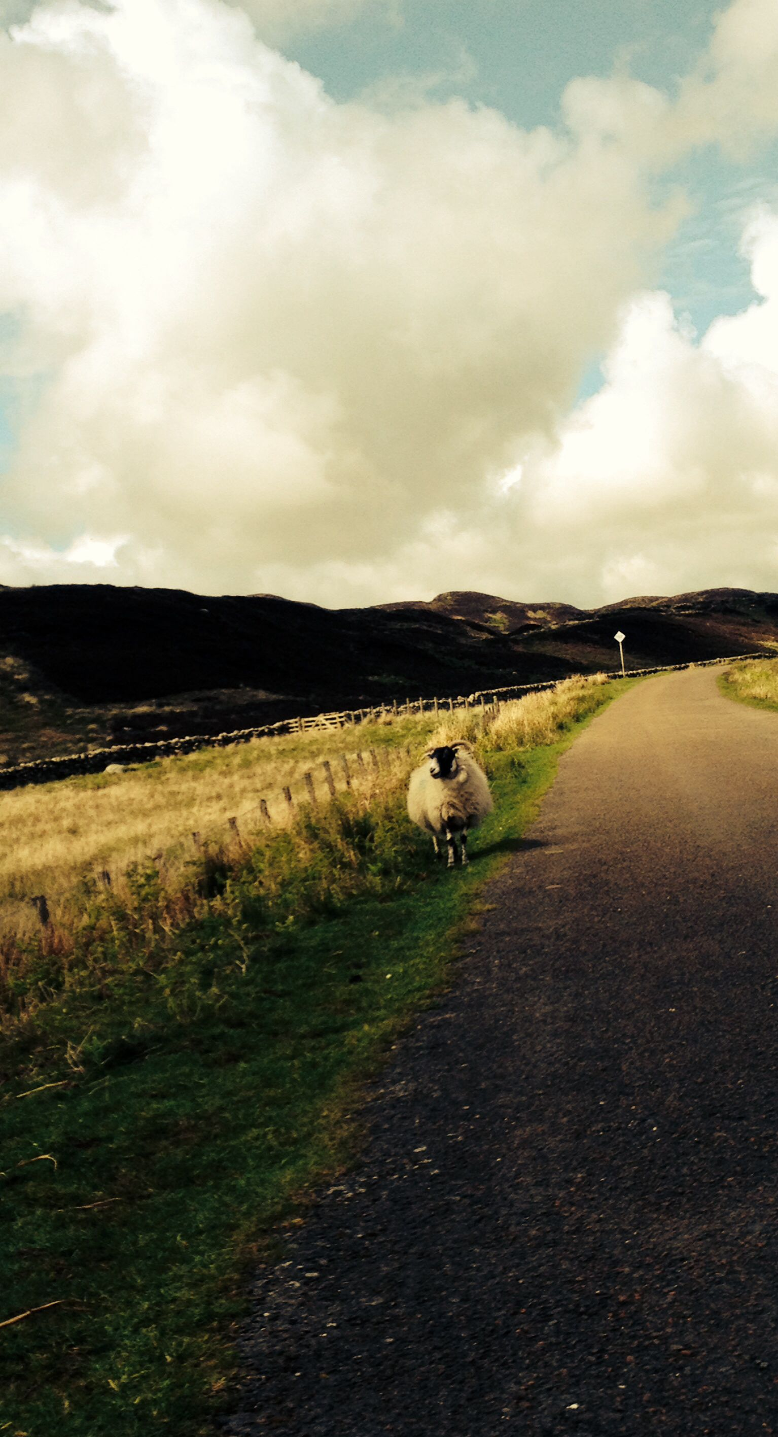 Lonely wandering sheep, Dumfries and Galloway