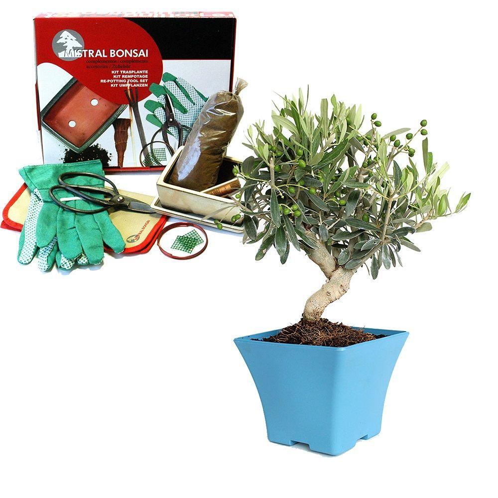 Kit créez votre premier bonsaï : Olivier | PLANTE | Pinterest ...