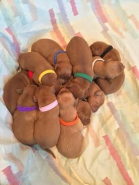 Dark Red Akc Golden Retriever Puppies With Images Red Golden