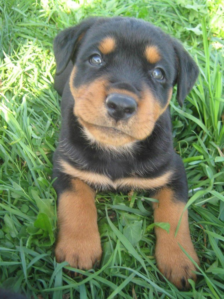 Rotweiler Puppies Bing Images Awwww I Miss Prada Being This
