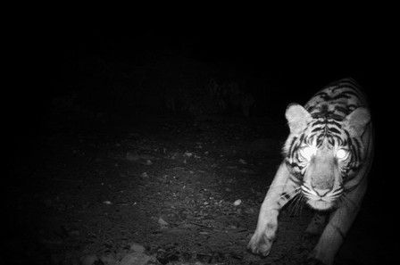 HELP WWF TO STOP TIGER POACHING!!! Help to stop ALL POACHING!!!!