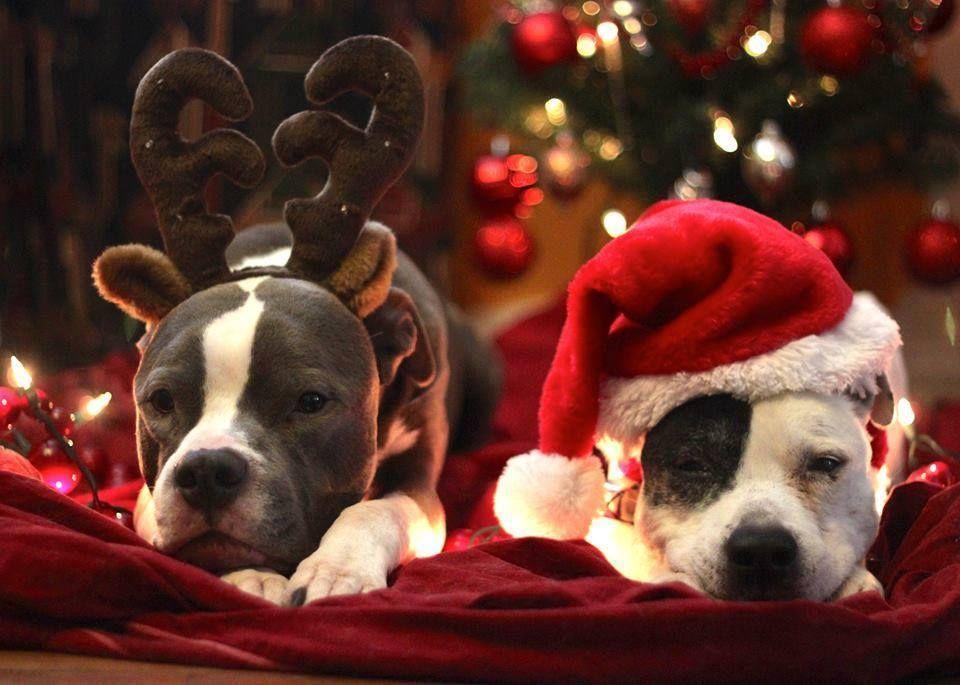happy pit bull holidays!! HEAVY  FRIENDS Pinterest Pit bull