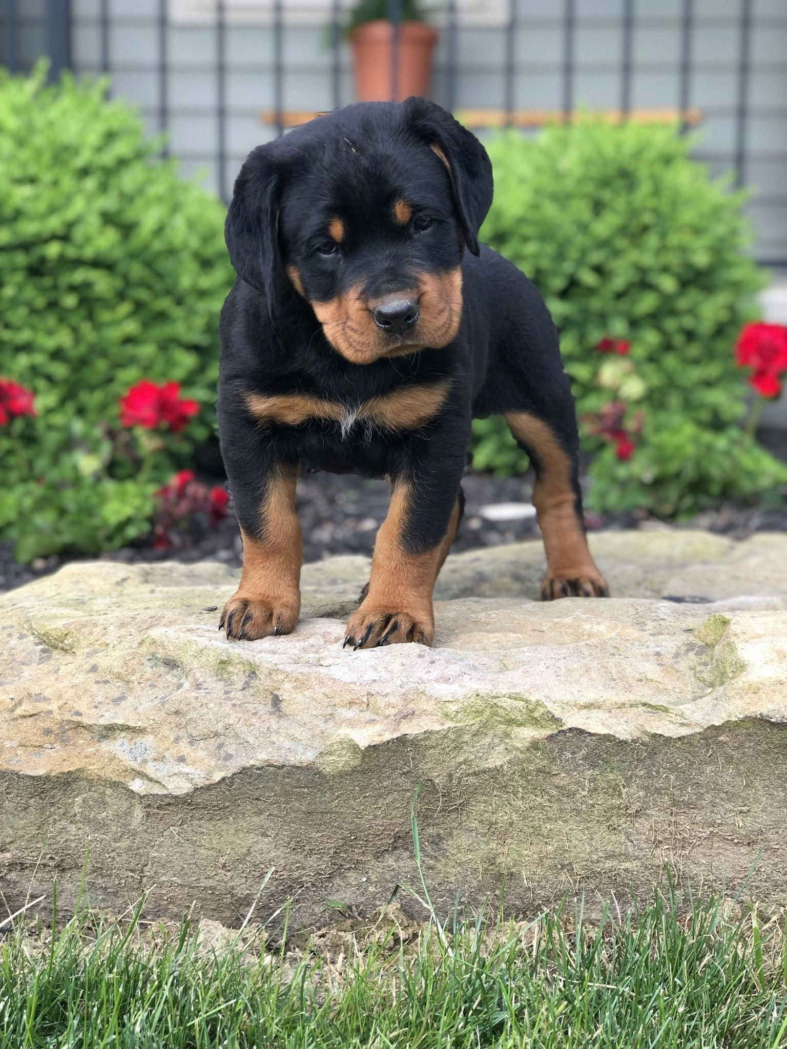 The Beagle Is A Breed Of Small Hound Originally Reproduced As Scent Hounds To Help Hunters They Are Widely Known And En In 2020 Dog Breeds Rottweiler Puppies Puppies