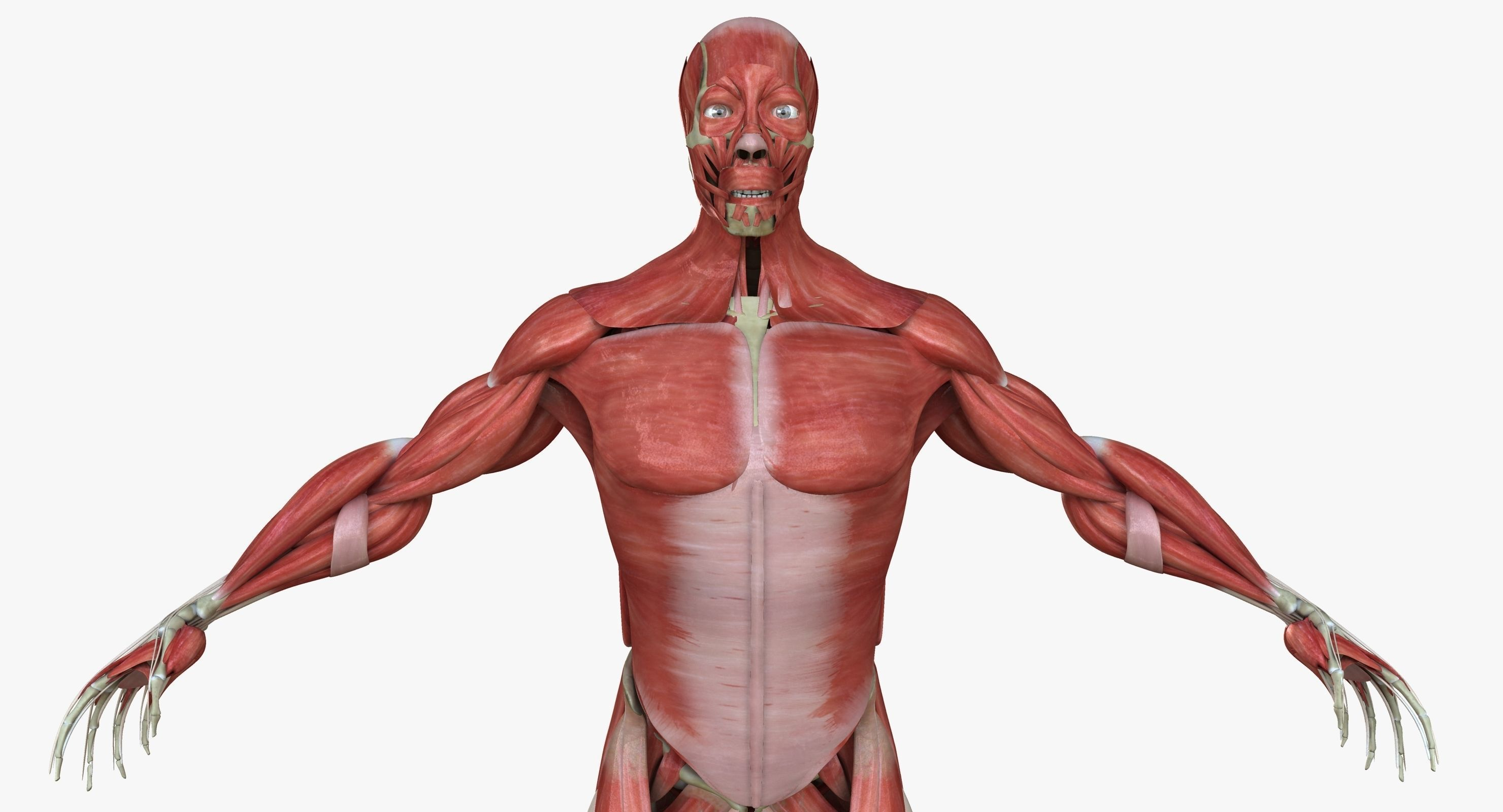 biggest muscles in the human body - HD2960×1600