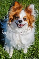Ruby is an adoptable Papillon Dog in Appleton, WI