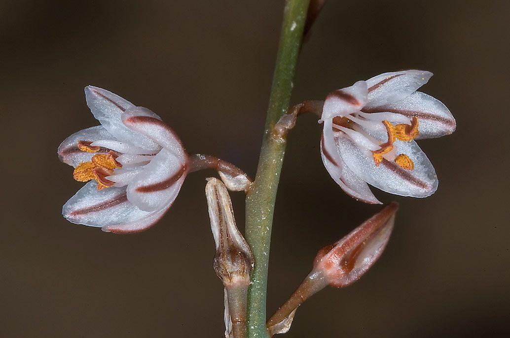 Narrow Leaved Asphodel Asphodelus Tenuifolius Local Name Bwraq Or Barwaq In Ras Abrouq Peninsula In West Central Coastal Area West Central Coastal Flowers
