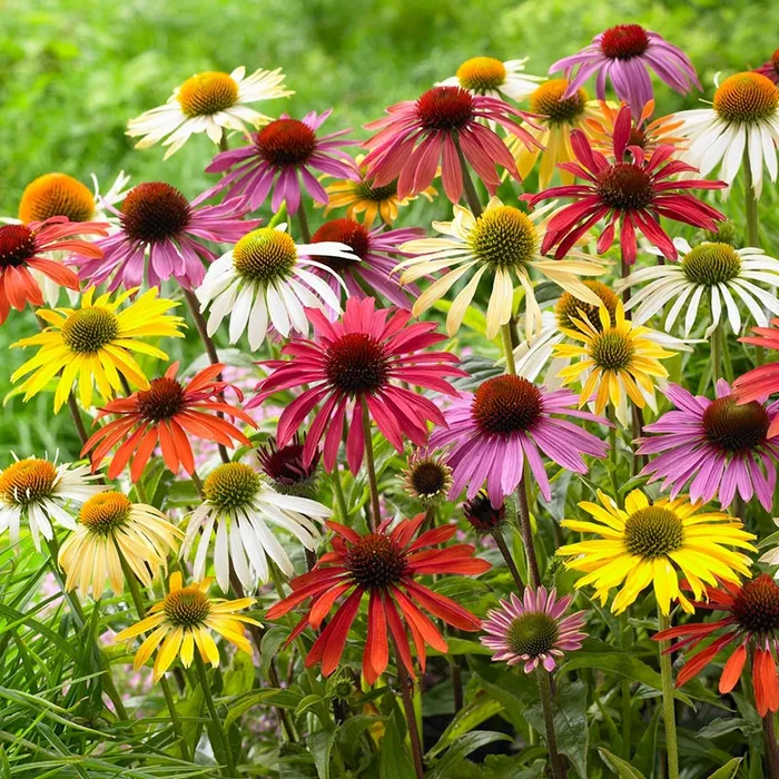 echinacea Google Search Echinacea, Flowers perennials