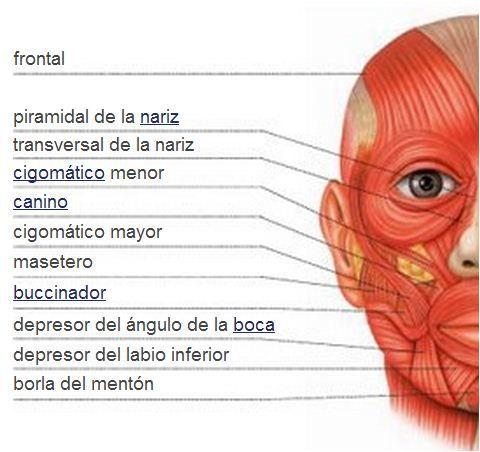 Sistema muscular   Músculos de la cara   interpreter   Pinterest ...