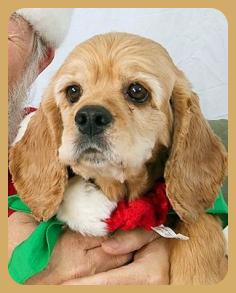 Dolley Madison Cocker Spaniel Rescue Of Austin And San Antonio