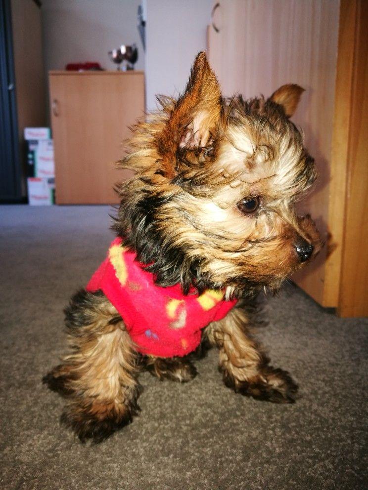 Tiny Baby Benji Yorkie, Cute puppies, Puppies