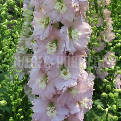 image de Delphinium Magic  Fountains Cherry Blossom