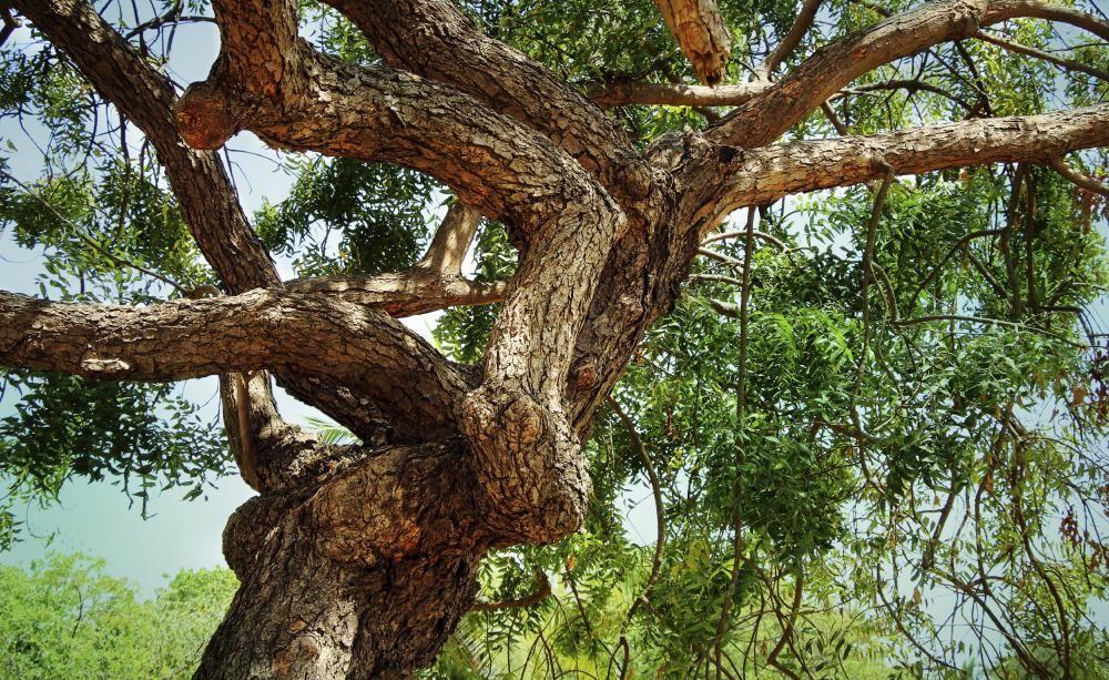 Neem Der Tropische Wunderbaum Vorgarten Pflanzen