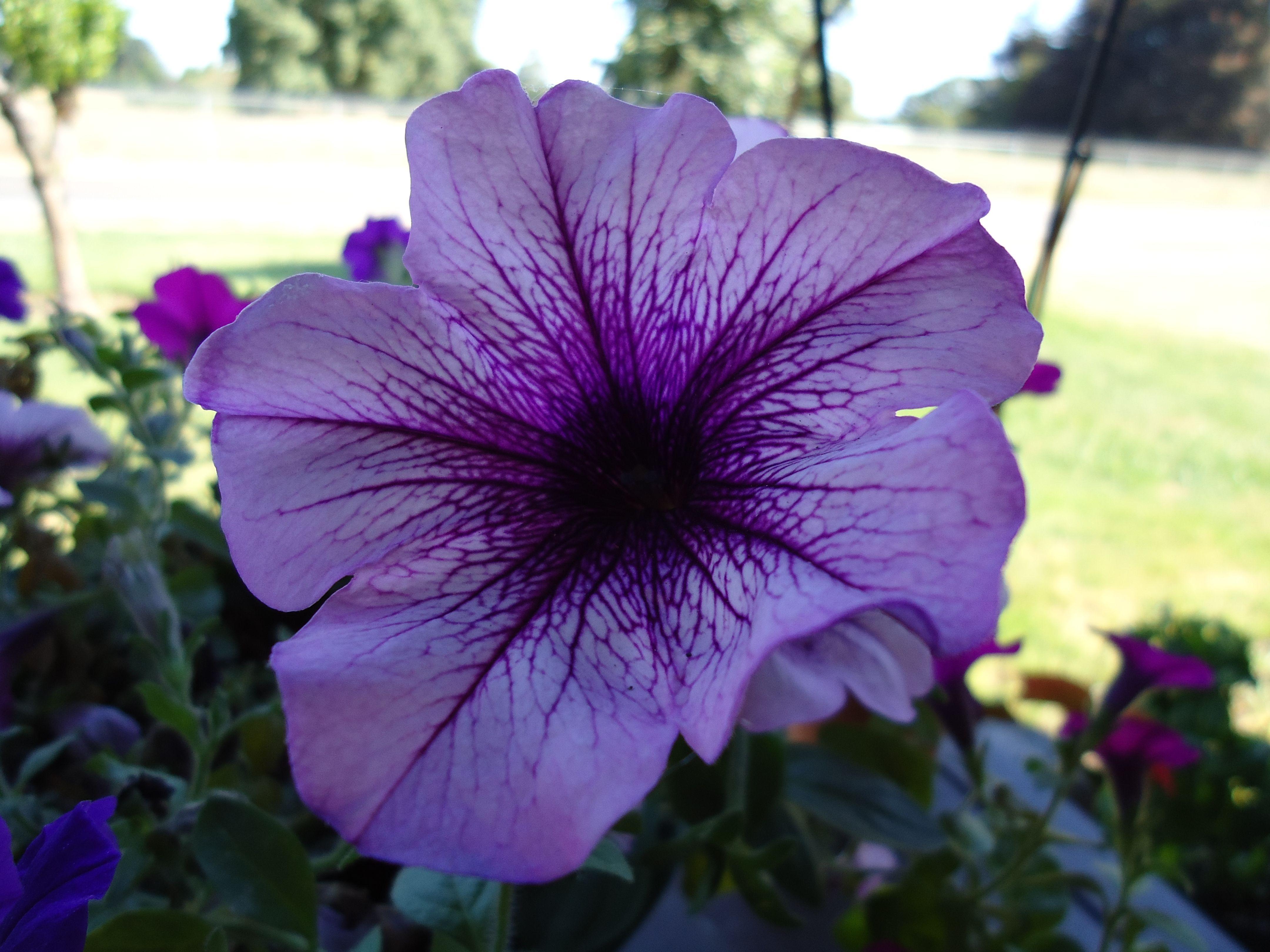 File Purple Petunia Flower Jpg Petunia Flower Purple Petunias Petunias