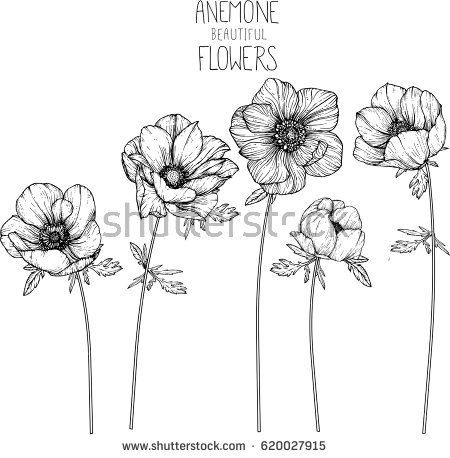 Anemone Flowers Drawing Vector Illustration And Line Art Flower Drawing Flower Sketches Flower Art