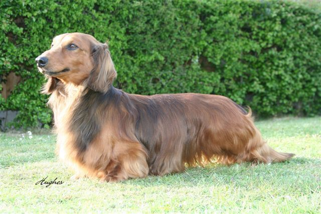 Daschunds Standard Long Haired Dachshunds With Images