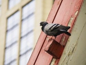 Fly Away Birdies How To Get Rid Of Birds On Your Roof Bird Control Bird Repellents Insect Control
