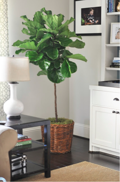 Fiddle Leaf Fig Tree-I want one of these for the living room!