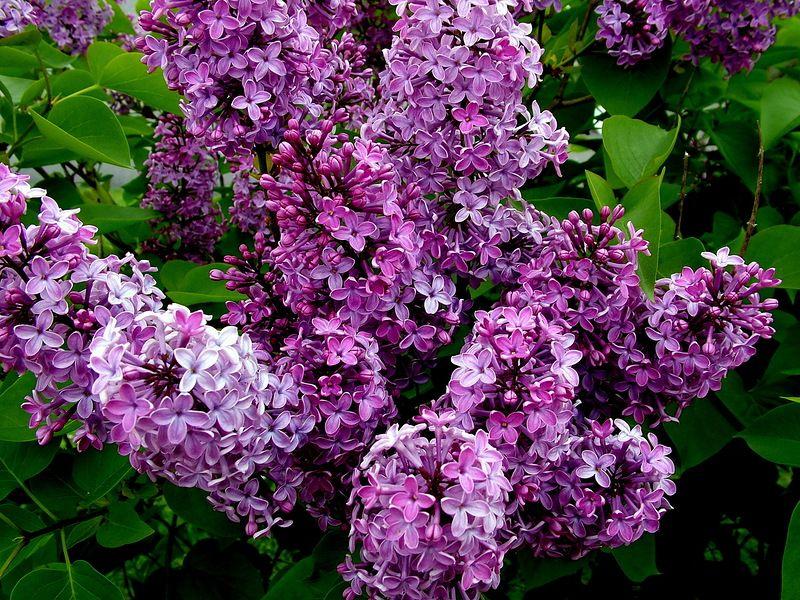Tavasz O A Varva Vart Vegre Vegre Rank Talalt Kellemes Tavaszi Napot Kivanok Lilac Bushes Lilac Bushes For Sale Plants