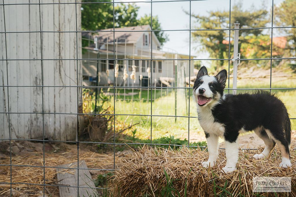 Finley On The Farm Animal Photography Collie Puppies Border