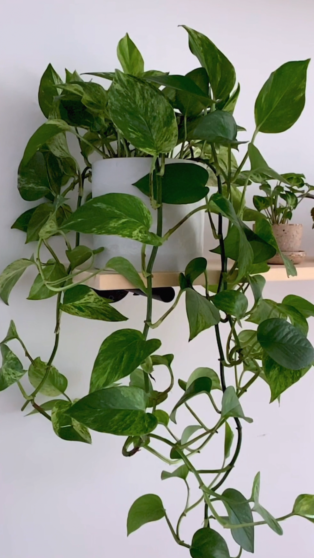 Pothos Care 101 : Is this the easiest houseplant t