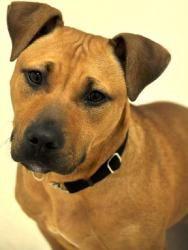 Adopt Mason on Bull terrier dog, Pitbull terrier, Dogs