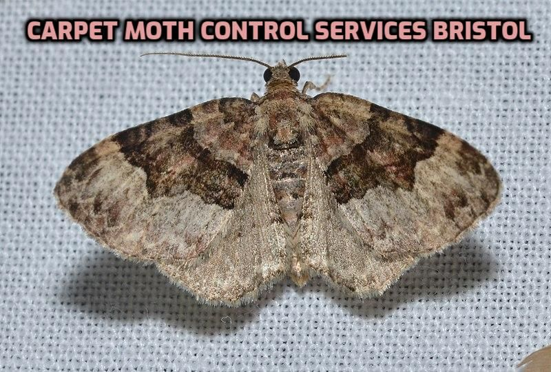 Looking for Carpet Moth Control in Bristol or Moth