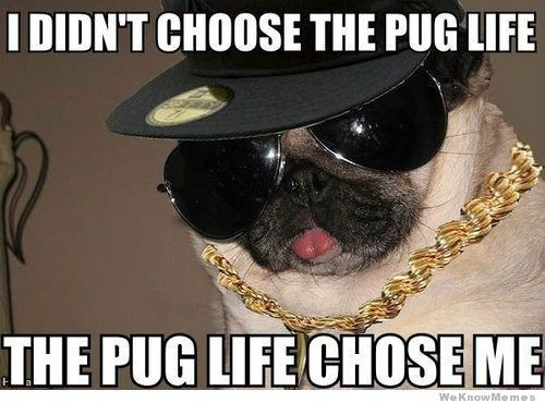 20 Funniest Pug Memes Gifs And Comics Pugs Funny Funny Dog