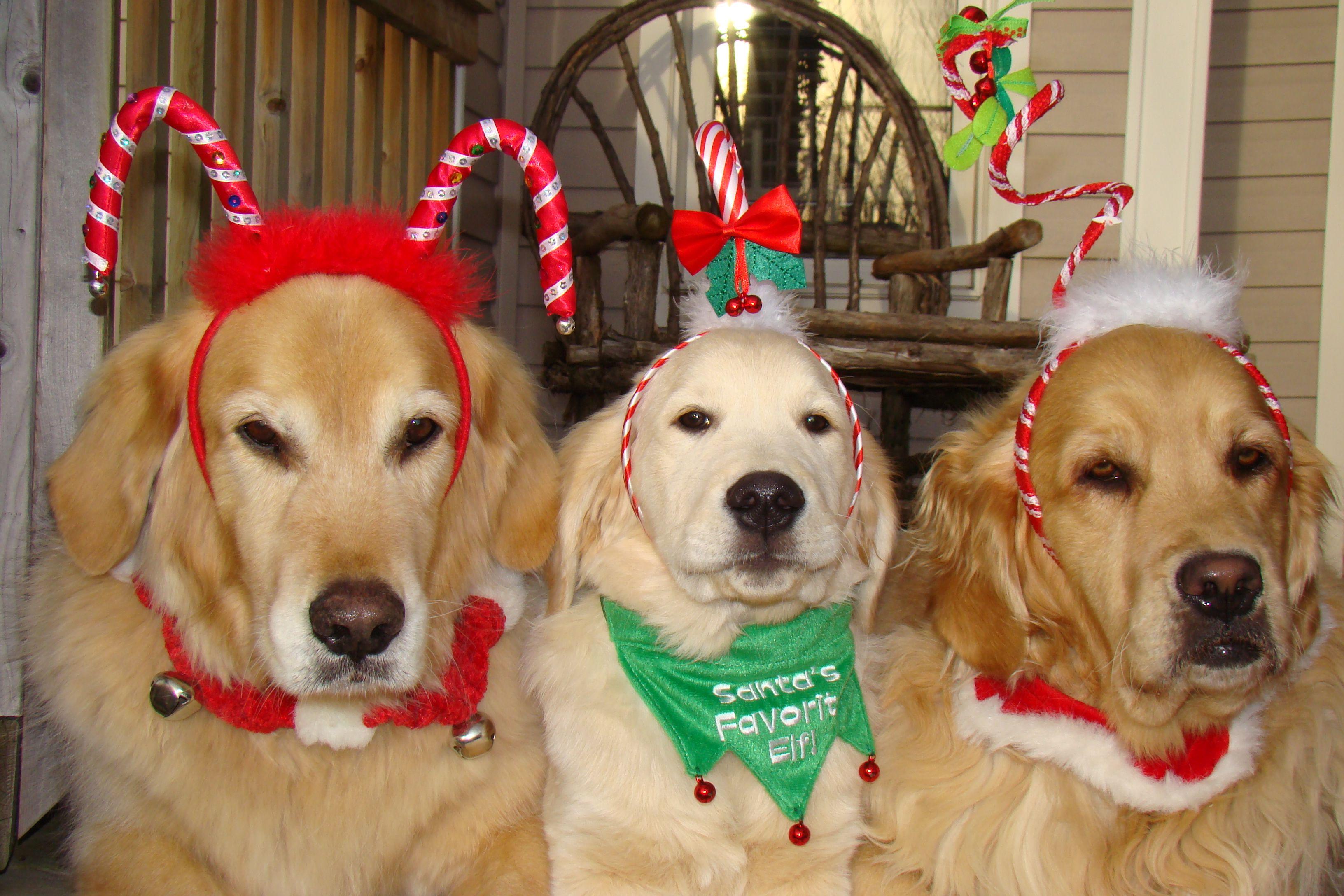 White English Cream Golden Retriever and Golden's Christmas ~ SO CHARMINGLY FUNNY ~