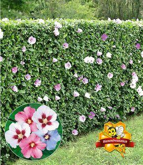 Hibiskus Hecke 10 Pflanzen In 2020 Hibiskus Hecke Pflanzen Hecke