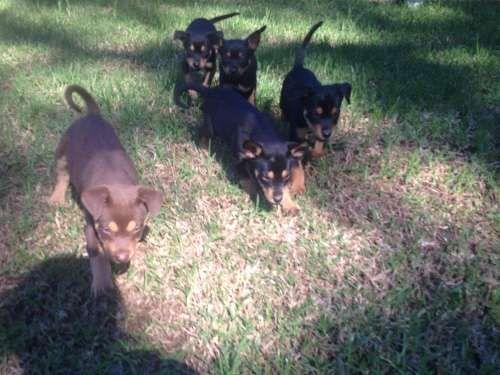 Breeder No 2971 5 Pure bred Kelpie pups for sale 350