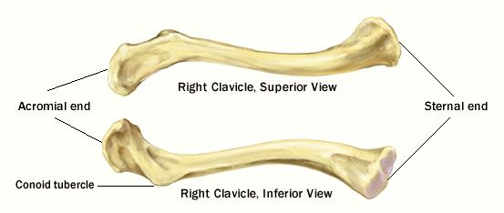 clavicle landmarks skeletal system appendicular. Black Bedroom Furniture Sets. Home Design Ideas