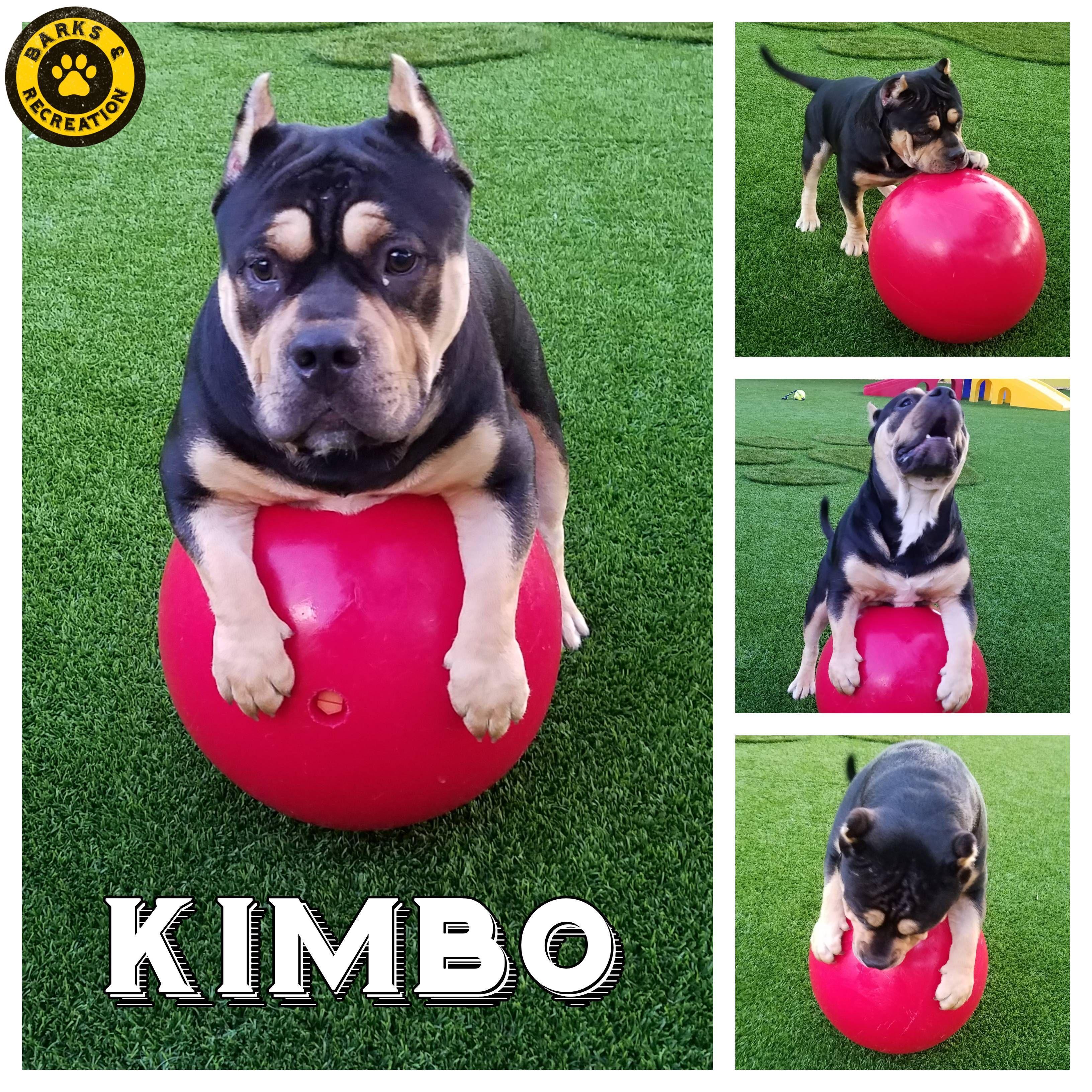 Kimbo! A Staffordshire Terrier/Bulldog mix at Barks
