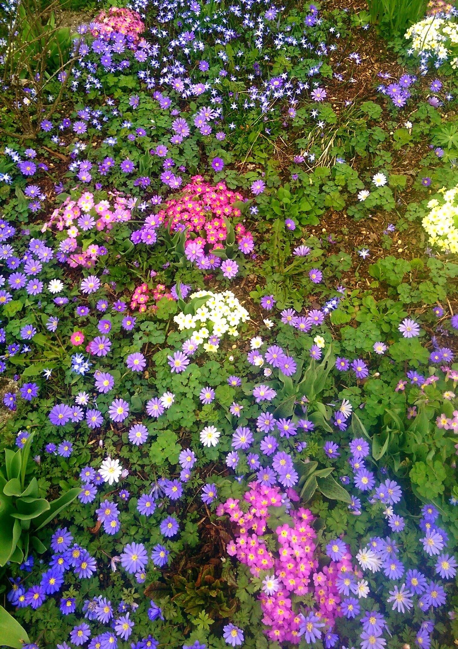 What flowers are these this is in germany btw whatsthisplant what flowers are these this is in germany btw whatsthisplant the blue white daisy shaped ones are windflower anemone bulbs and the pink with izmirmasajfo