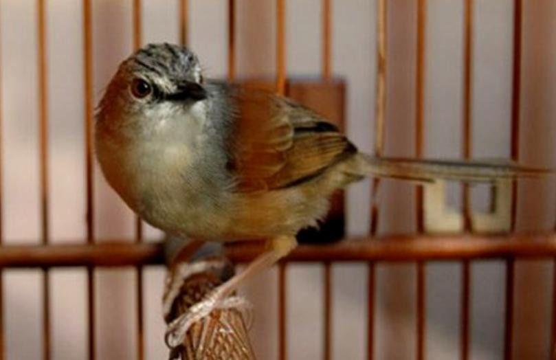 Download Suara Ciblek Gunung Gacor Di 2020 Suara Burung