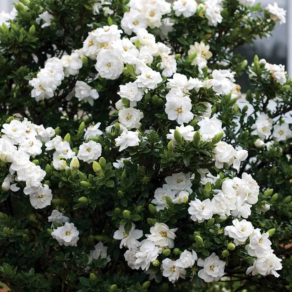 Gardenia Crown Jewels Cape Jasmine Evergreen Shrubs Perfect