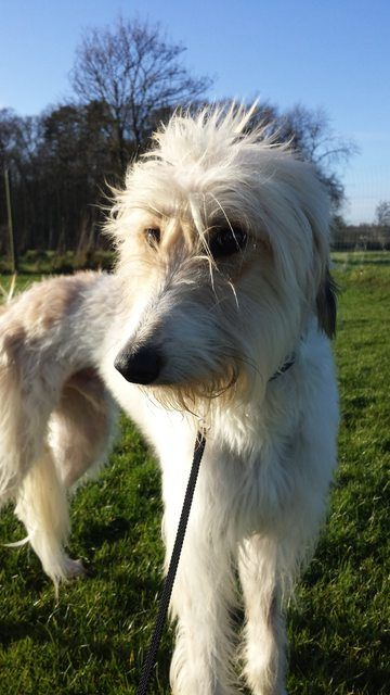 Boswell 2 Year Old Male Afghan Hound Cross Saluki Available For