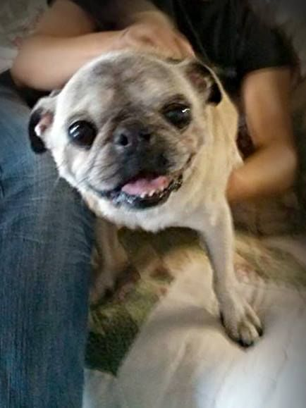 Adopted Yoda Is An Adult Male Pug Is In Need Of Rescue Or