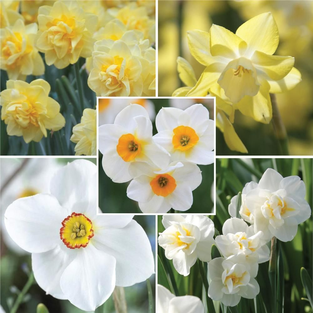 Narcissus Fragrant Daffodil Collection Daffodils Grow Almost