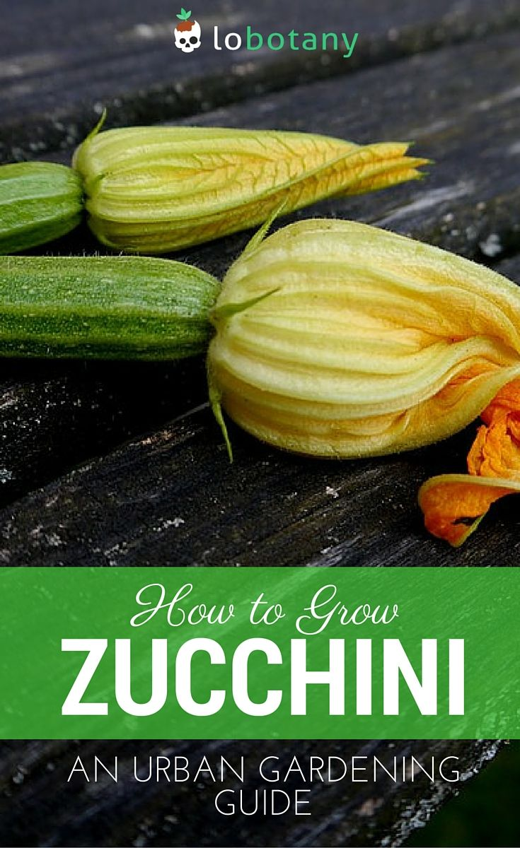 How to Grow Zucchini | Zucchini, Balcony gardening and Gardens