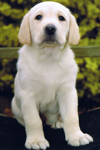 White Lab White Labrador Retriever Iphone Wallpaper Download
