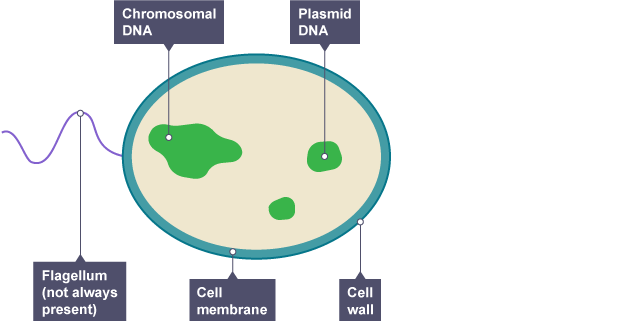 Bacteria Diagram Labeled Trusted Wiring Diagrams