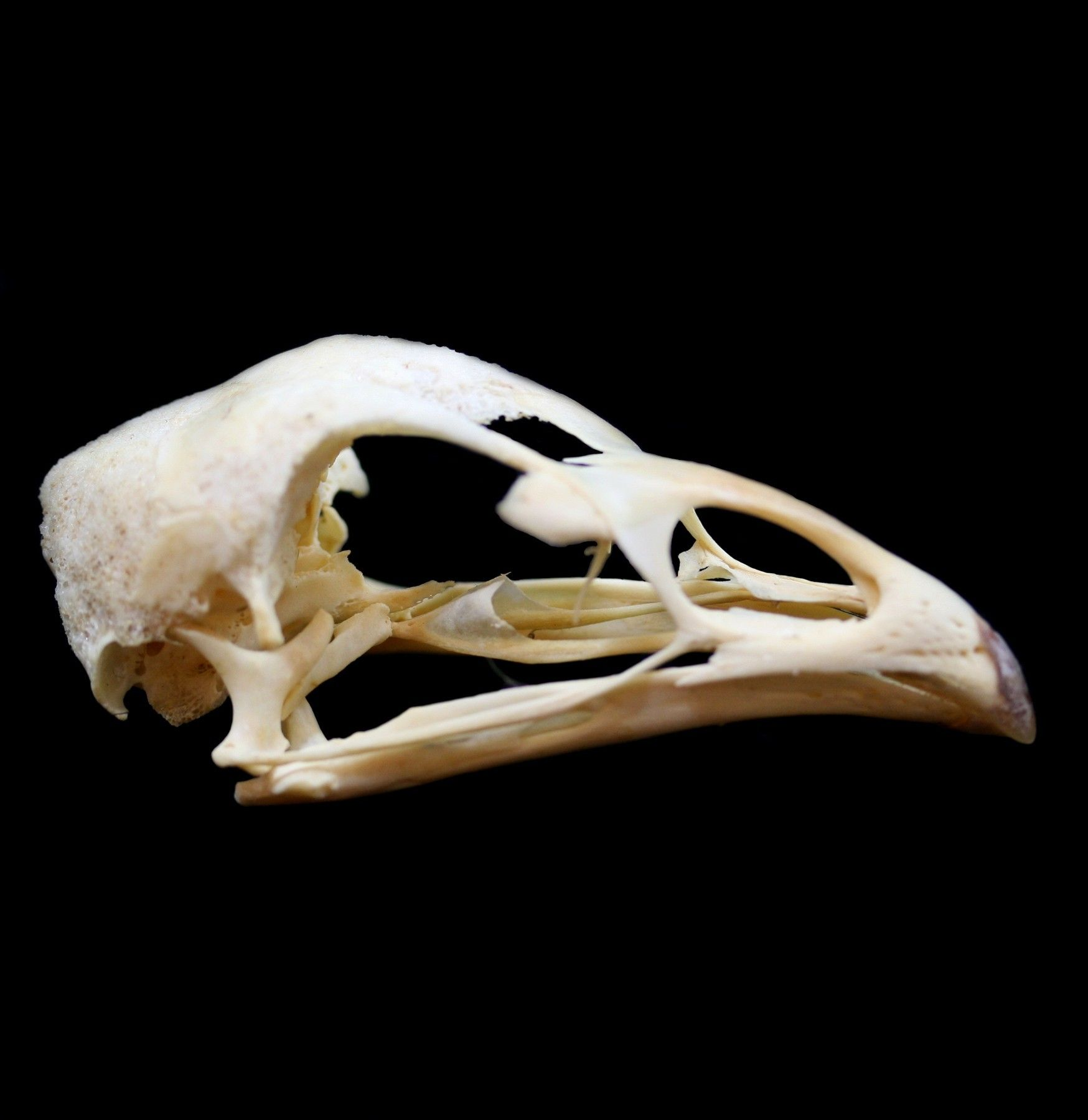 Chicken Skull | Things I\'d Like to Have | Pinterest | Gate