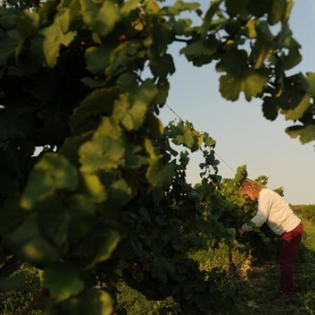 Vineyards at Isle St  George (North Bass Island), Ohio | Islands We